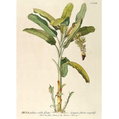 Musa Plantae Fra The Dybdahl