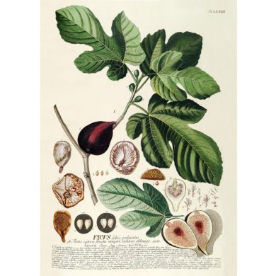 Ficus. Plantae Print Fra The Dybdahl